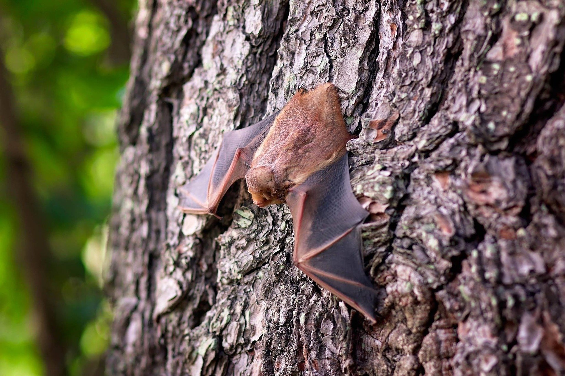 North American Bat